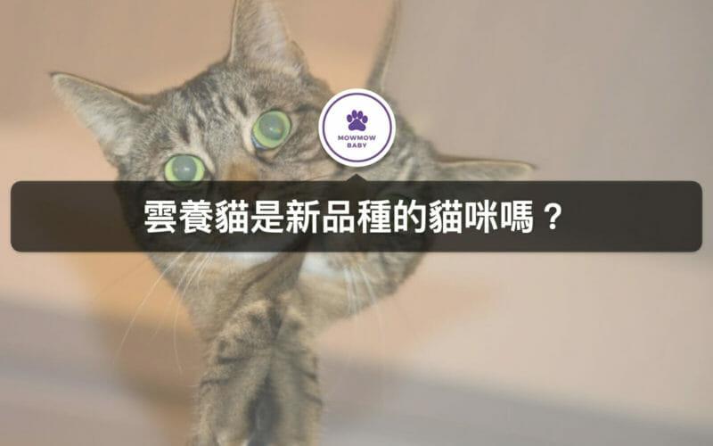 【貓咪飼養】雲養貓是最新的貓咪品種嗎?