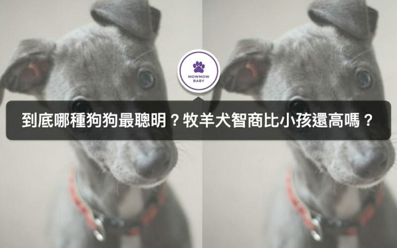 牧羊犬智商都很高?知名電影靈犬萊西是牡羊犬品種之一,還有哪些呢?
