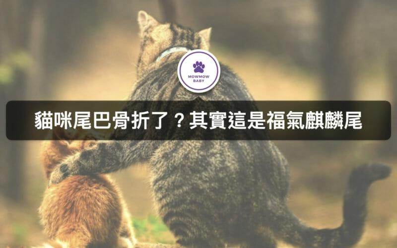 貓咪尾巴很短是骨折了嗎? 原來這是象徵福氣的麒麟尾! 只有少數貓咪才有的特徵!