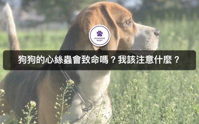 狗狗得到心絲蟲生病該怎麼辦? 有哪些症狀? 可以治癒嗎? 平時狗狗戶外出門該如何預防?